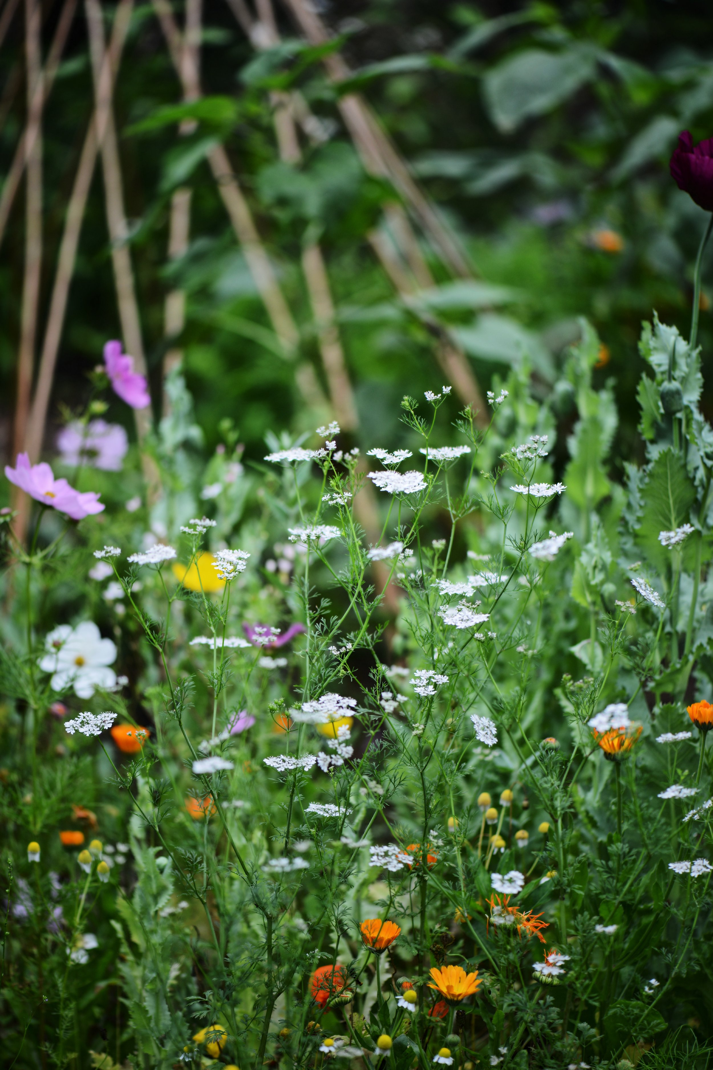 Edisble coriander flowers, calendula and chamomile with happy cosmos in bloom!