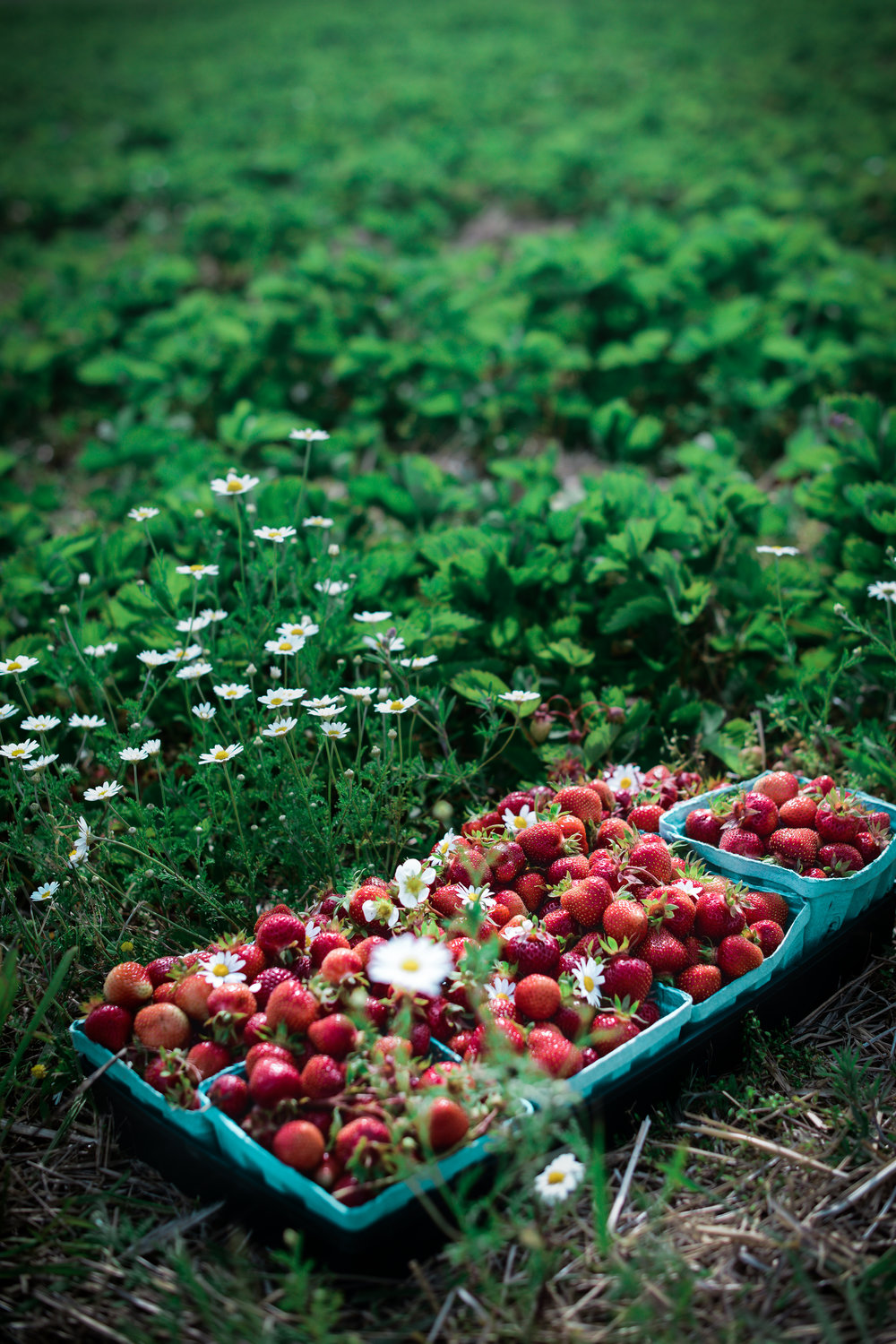 strawberries_pick_your_own