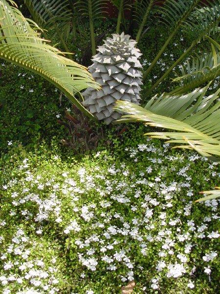 Plant Images Palmco Nov 2010 015.jpg