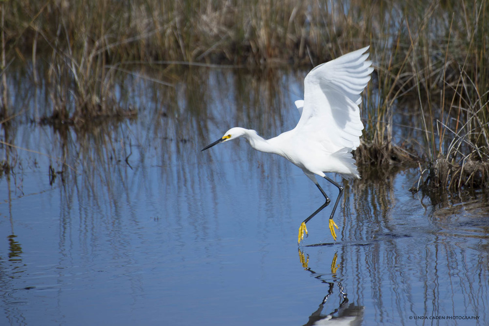 Merritt Island Wildlife Refuge.  Great place to view migrating and local birds. Snowy Egret touch down.