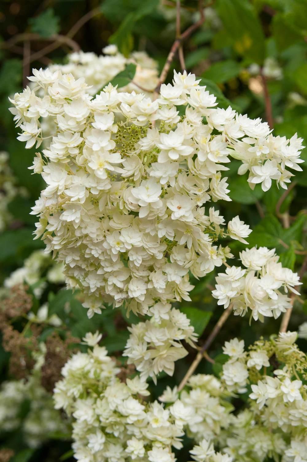 hydrangea_white.jpg