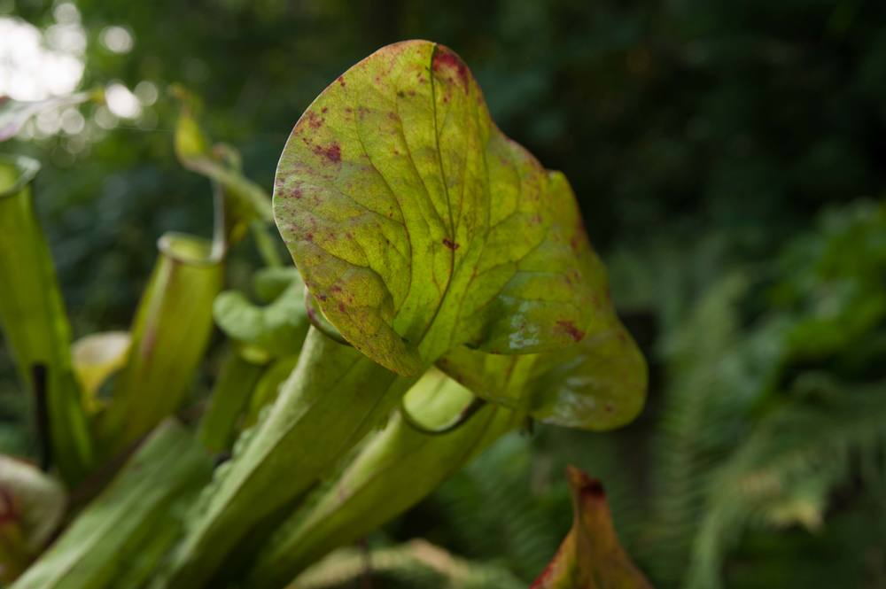 pitcher_plant_detail.jpg