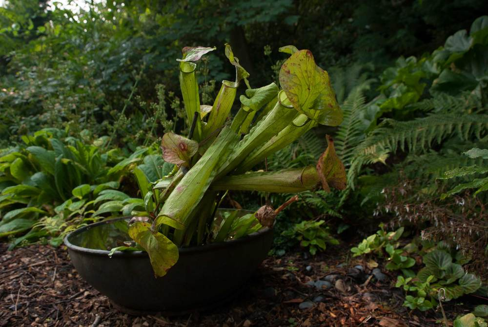 pitcher_plants.jpg