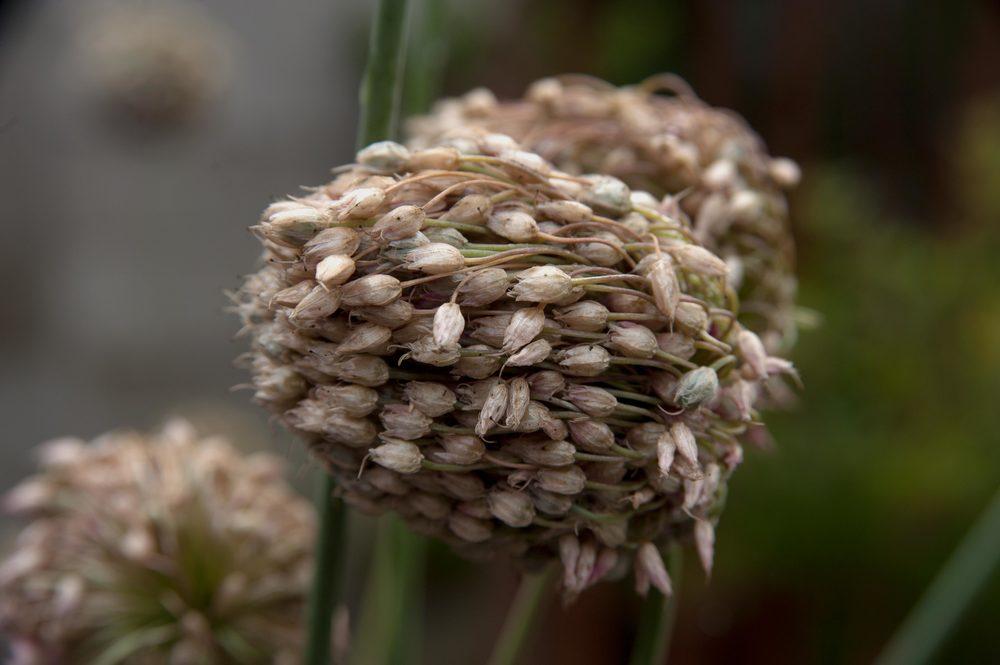 seedhead.jpg