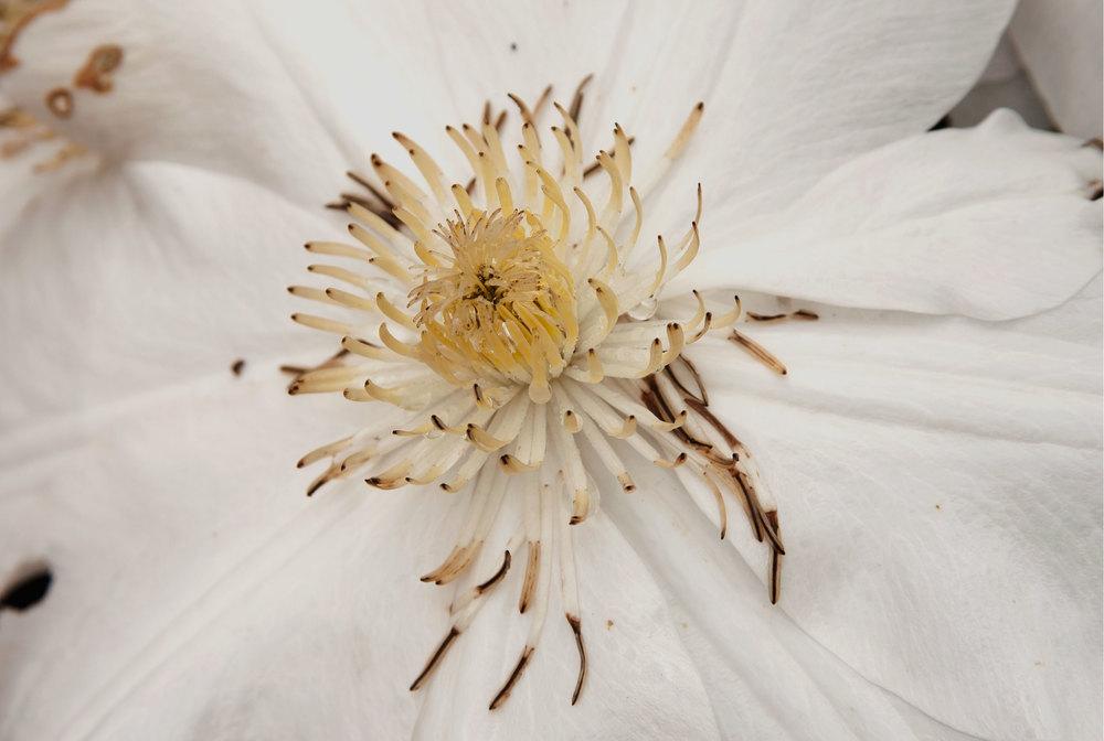 whiteflowercenter.jpg