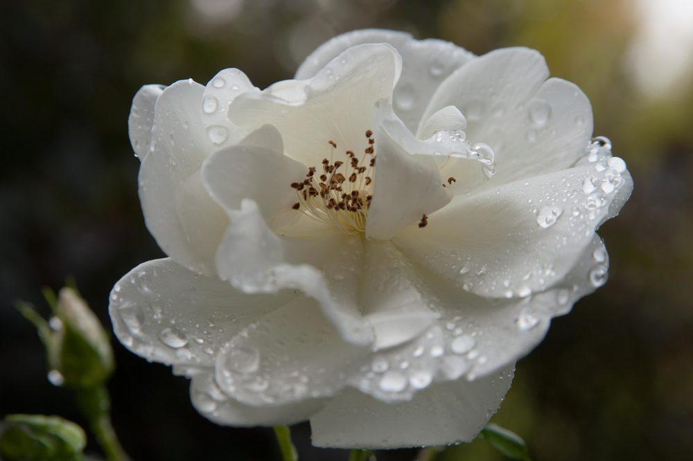 whiterosewater2.jpg