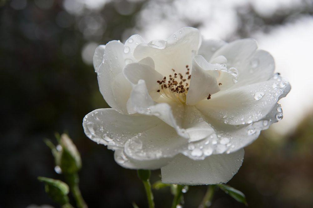 whiterosewater.jpg