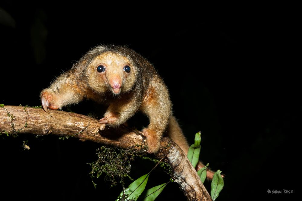 Silky anteater_MGambaRios.jpg