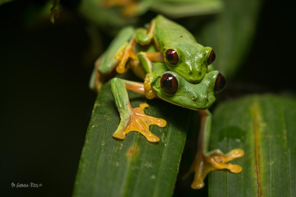 Gliding_tree_frog_MGambaRios.jpg