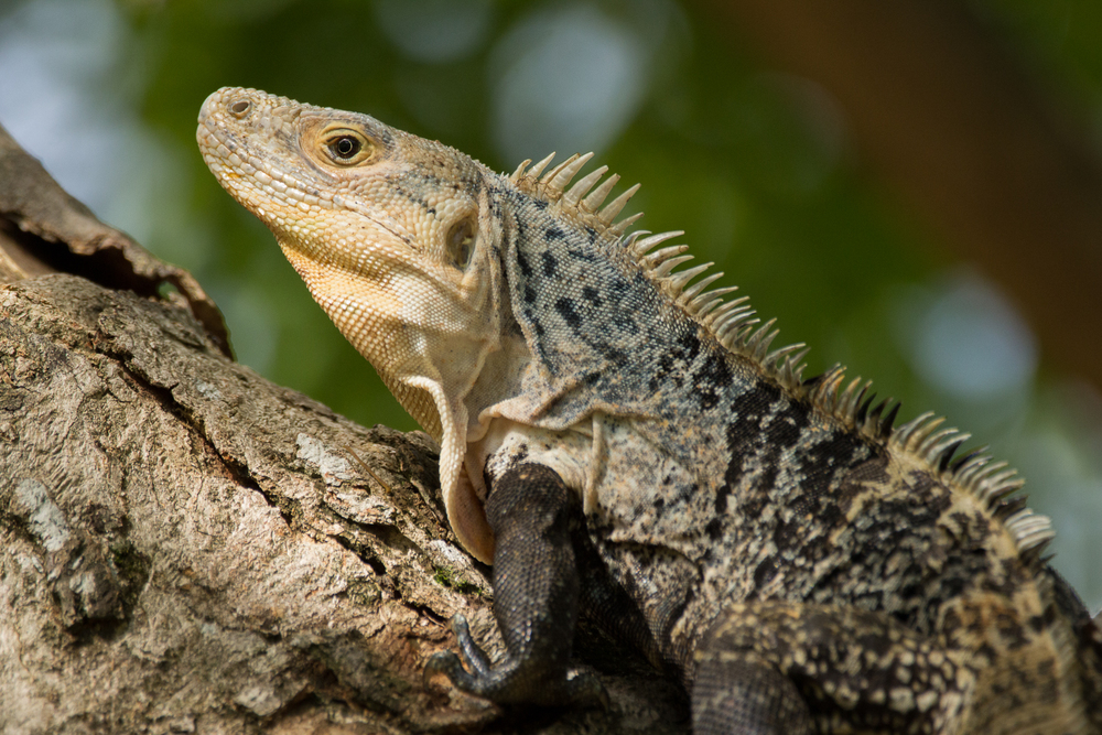 Black spiny-tailed iguana (Ctenosaura similis)