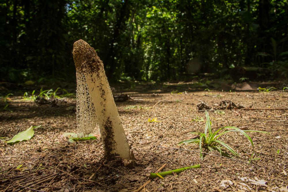 Stinkhorn Fungus (Phallus indusiatus)
