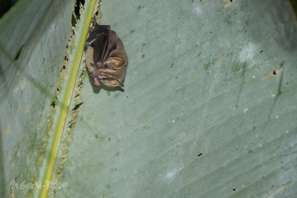 Thomas's fruit-eating bat (Dermanura watsoni)