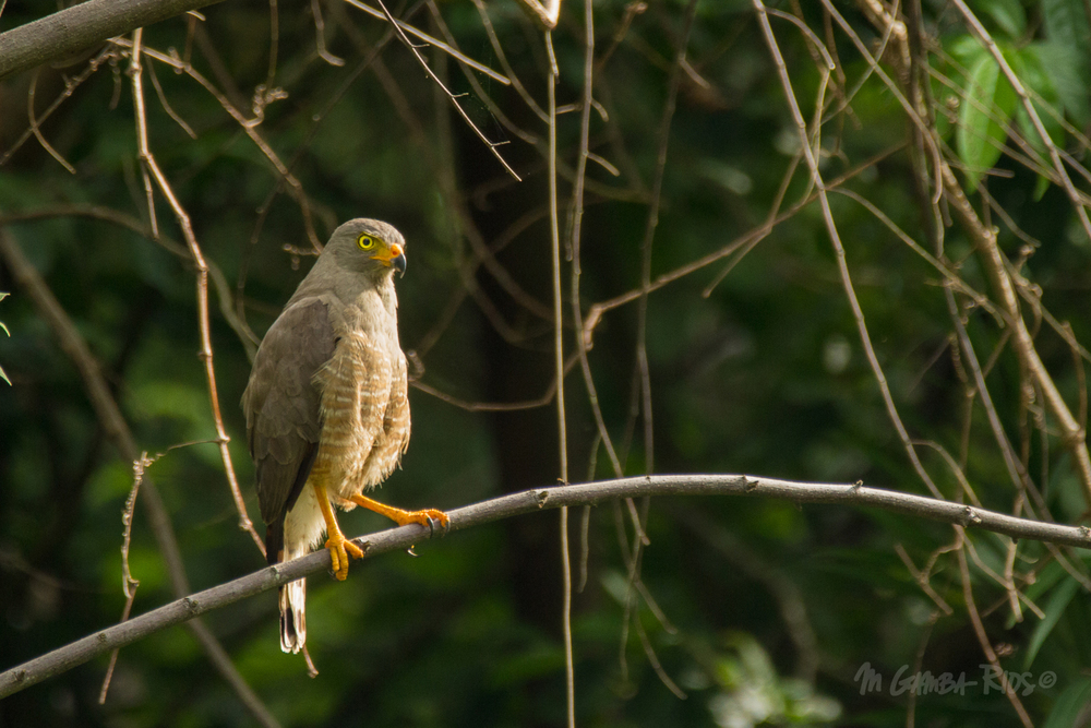 Roadside Hawk (Buteo magnirostris)
