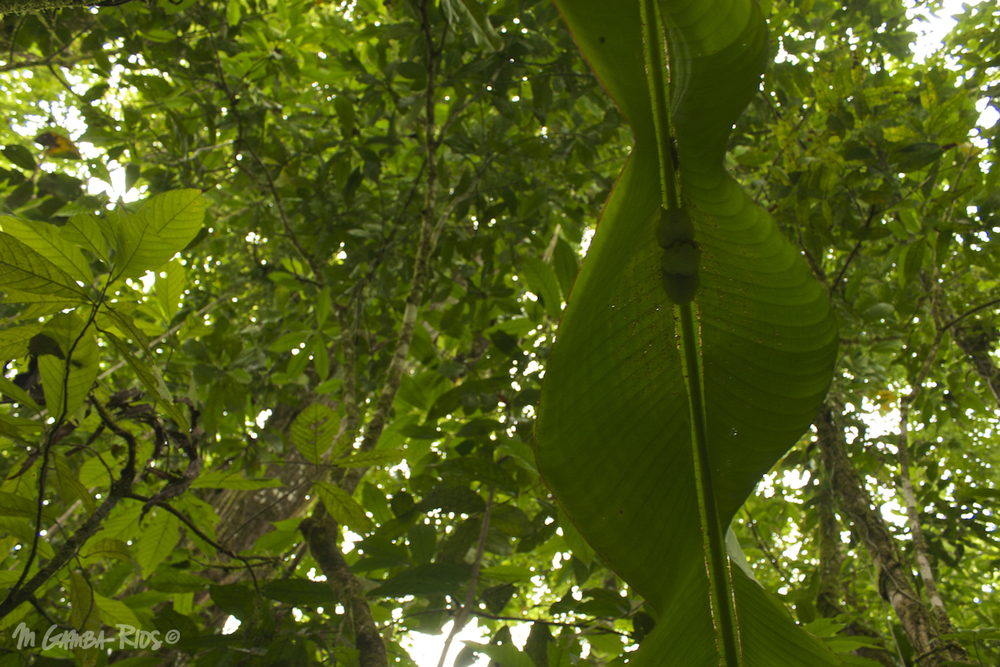 Honduran white bat (Ectophylla alba), roost under modified leafs (tents)