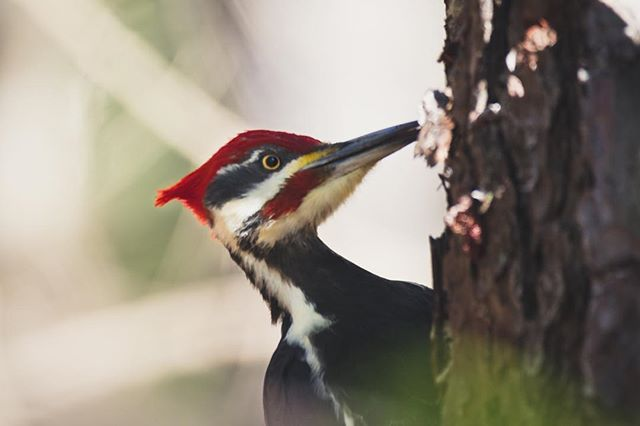 Pileated Woodpecker (Dryocopus pileatus) is one of the largest woodpeckers in North America. I really like this species, and I usually observed on my regular visits to the Smoky Mountains National Park on Tennessee.  #splendid_animals #AnimalElite #allmightybirds #allnatureshots #animals_captures #anythingfeathered #Animazing_wildlife #birdwatch #bns_birds #birdfreaks #birdextreme #wildlife_seekers #thetweetsuites #natureaddict #NatureIsSpeaking #nuts_about_birds #nature_perfection #tgif_aviary #your_best_birds #udog_feathers #feather_perfection #naturelover_gr #ic_nature #ig_nature #IGSCWILDLIFE #wildlife_perfection #rsa_nature #bb_of_ig #bestbirdshots