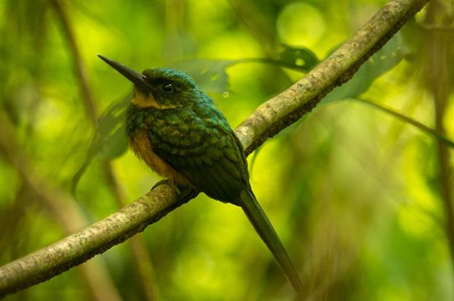 "I took the photo of this female Rufous-tailed Jacamar (Galbula ruficauda) two years ago while I was working in one of my experiments. After setting up the equipment, I always wait around 30 minutes before start recording data, trying to avoid any change in the bat behavior, for any possible ""disturbance"" while I set up the equipment. While I was waiting to start my experiment, the bird landed between the vegetation and began searching for dragonflies and butterflies to feed on. The Jacamar was in a spot where the light conditions were awful. However, I managed to take this photo. After a few minutes, the Jacamar captured a dragonfly and flew away with its prize!  #splendid_animals #AnimalElite #allmightybirds #allnatureshots #animals_captures #anythingfeathered #Animazing_wildlife #birdwatch #bns_birds #birdfreaks #birdextreme #wildlife_seekers #thetweetsuites #natureaddict #NatureIsSpeaking #nuts_about_birds #nature_perfection #tgif_aviary #your_best_birds #udog_feathers #feather_perfection #naturelover_gr #ic_nature #ig_nature #IGSCWILDLIFE #wildlife_perfection #rsa_nature #bb_of_ig #bestbirdshots"