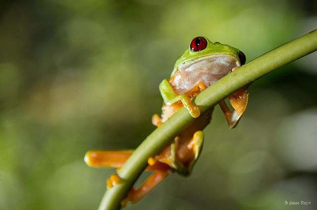 I took this photo last summer while I was working on one of my projects with bats in Costa Rica. Red-eyed tree frog (Agalychnis callidryas), is probably the most photographed frog in the world. Mainly, for the incredibly contrast from the eye color (intense red color) with vertical pupils and the green color on the back of the body.