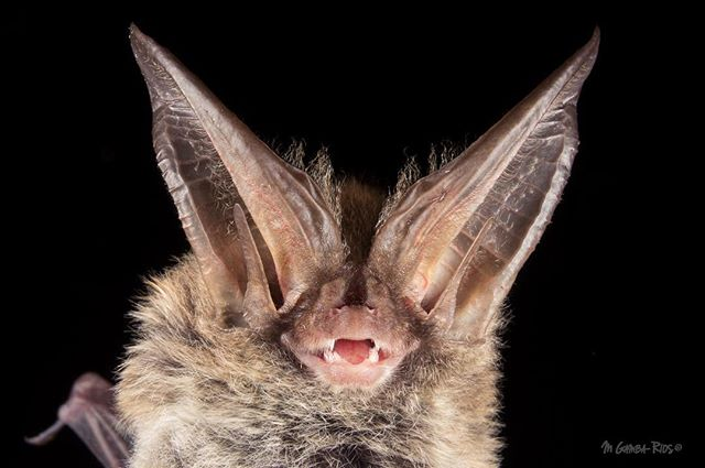 Last week I captured for the first time one of my favorite bats from the East United States. Rafinesque's big-eared bat (Corynorhinus rafinesquii) is an insectivorous bat, distributed in the southeastern United States.  I spend an incredible time with @carpe.gm Grace Carpenter's team working on Great Smoky National Park! For more information about Grace project check my previous post!  #natureaddict #wildlife_seekers #IGSCWILDLIFE #mammals #ic_nature #ic_animals #ig_nature #rsa_nature #natureinside #natureaddict #naturelover_gr #NatureIsSpeaking #nature_perfection #allnatureshots #scienceproject #scienceworld #sciencerules #research #batconservation #savethebats #batsofinstagram #batstagram #bats #conservation #batconservation #fieldwork #researcher #Animazing_wildlife #smokymountains