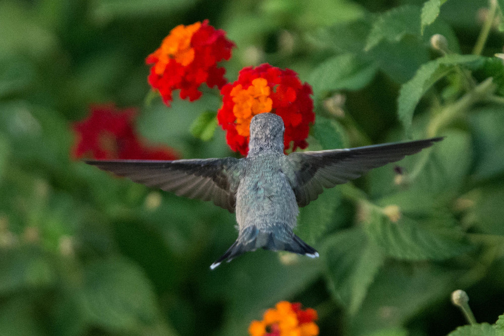Female Hummingbird Docking