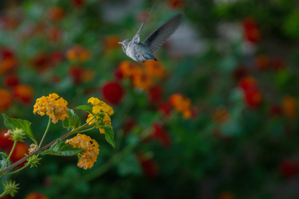 Humming Bird Flying Away
