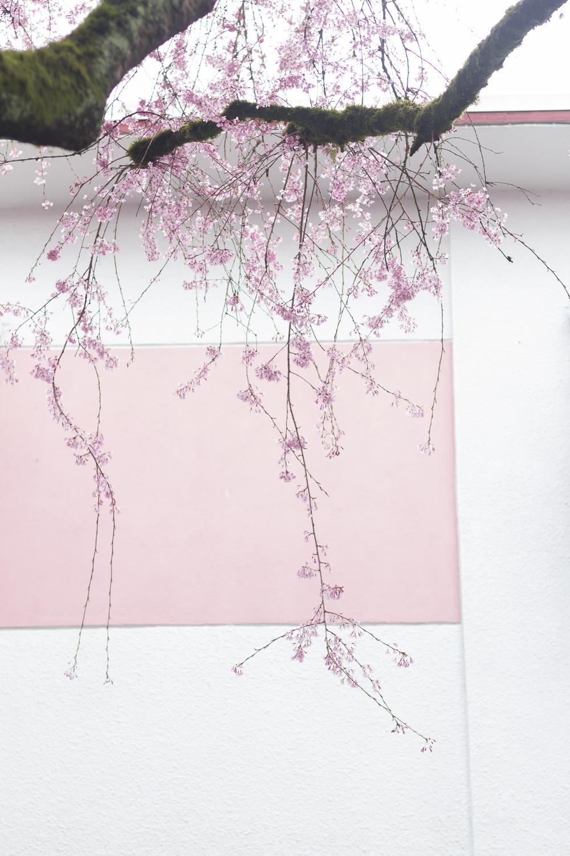 Trailing Cherry Blossoms. Photo © 2014 Helena McMurdo