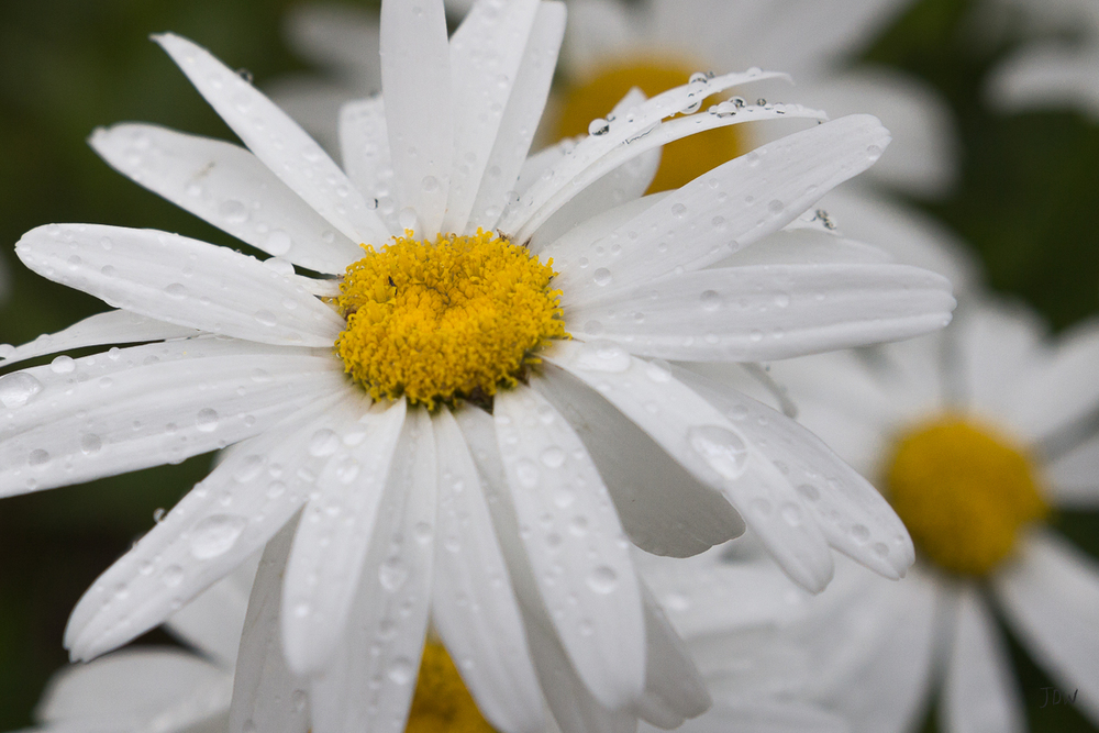 My Painted Door garden tour - Shasta Daisy. Photography by Jan Whybourne.