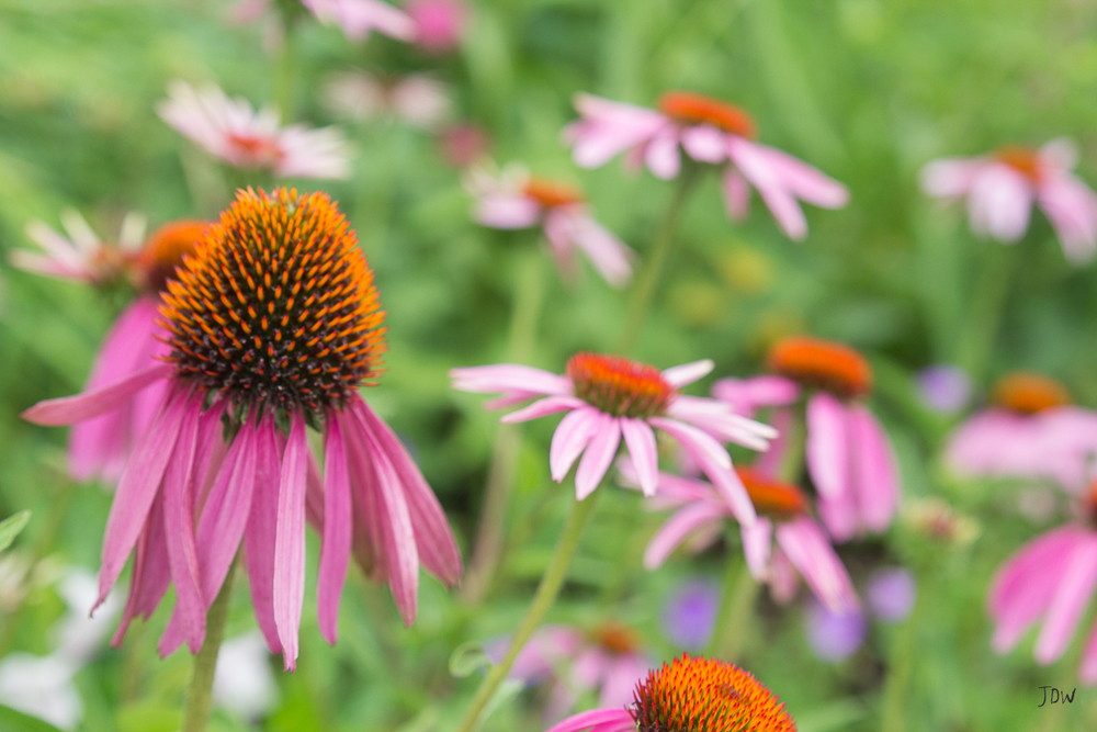 My Painted Door garden tour - Purple Coneflowers. Photography by Jan Whybourne.
