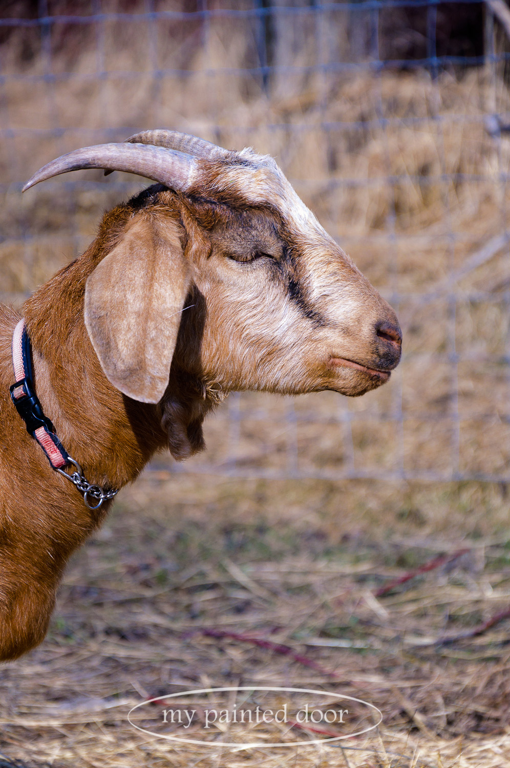 Scotch is one of the momma goats at Hurkett Hill Farm.