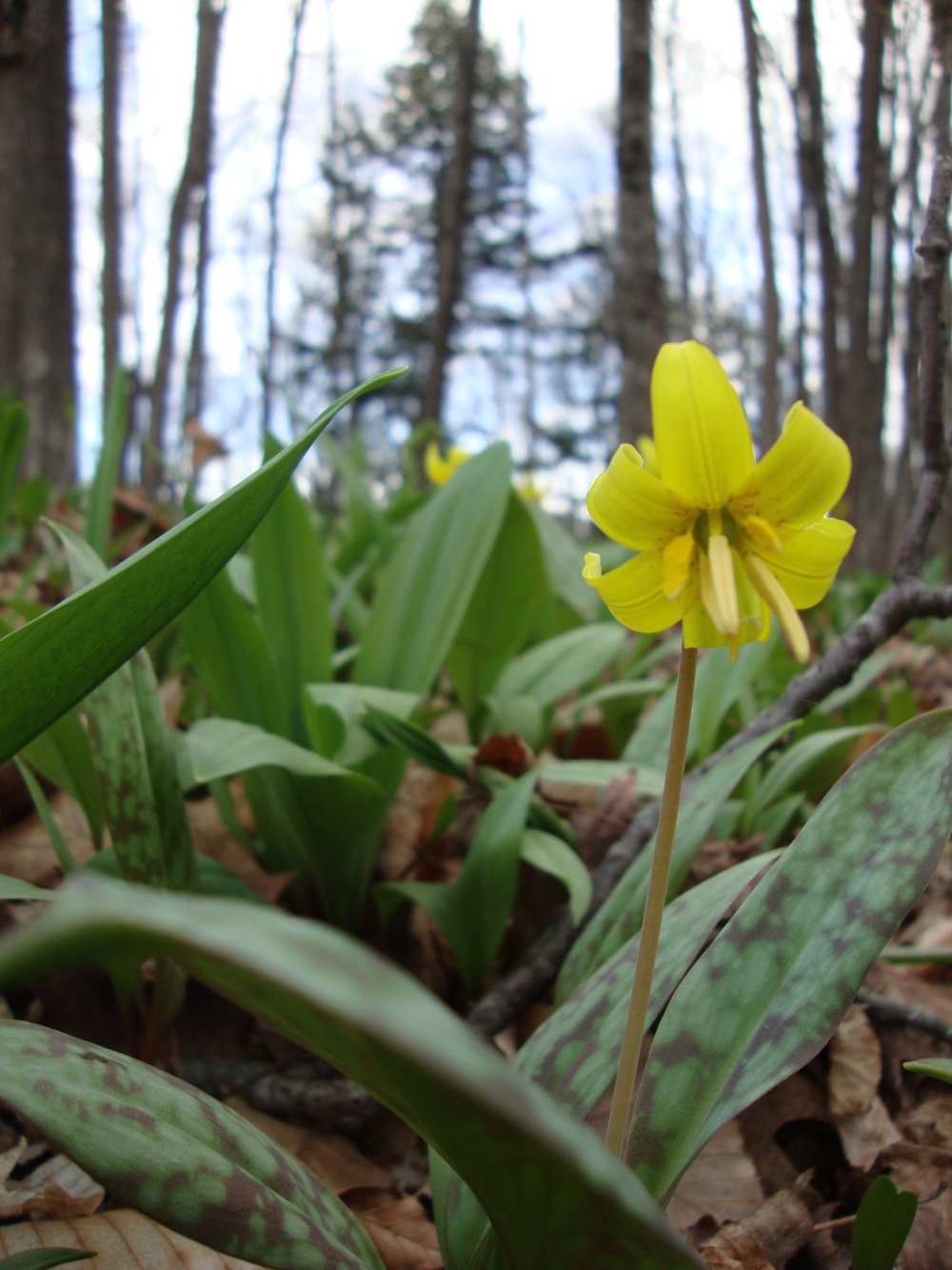 Trout Lily.jpg