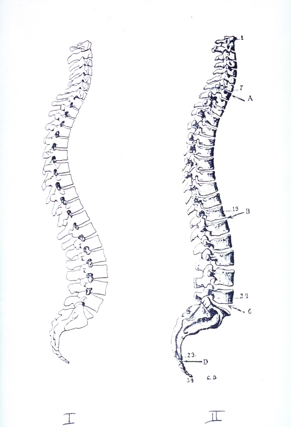 From GokhaleMethod.com: Illustrations of the human spine from anatomy books published in I) 1990 and II) 1911