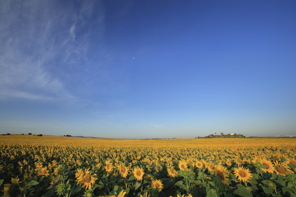 Sunflower field with HSR in distance.jpg