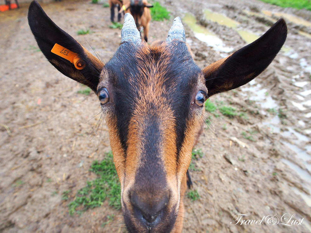 What a beautiful personality! We have a soft heart for these goats at cheese farm producer Podere Le Fornaci after spending time with them.