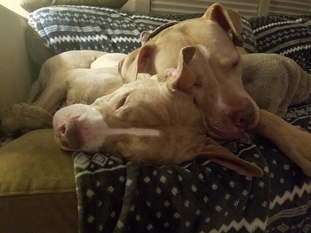 The famous 2-headed pitbull!