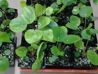 Our baby Pilea Peperoomioides growing.