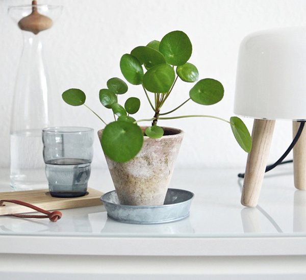 pilea peperomioides little lands little lands terrariums melbourne. Black Bedroom Furniture Sets. Home Design Ideas