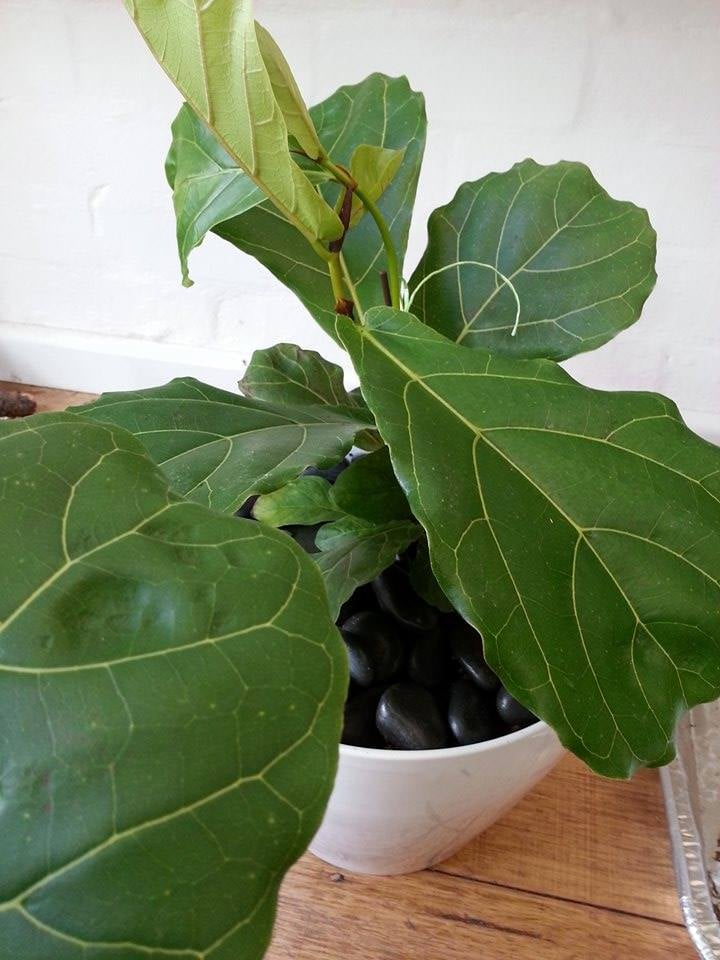 fiddle leaf fig melbourne