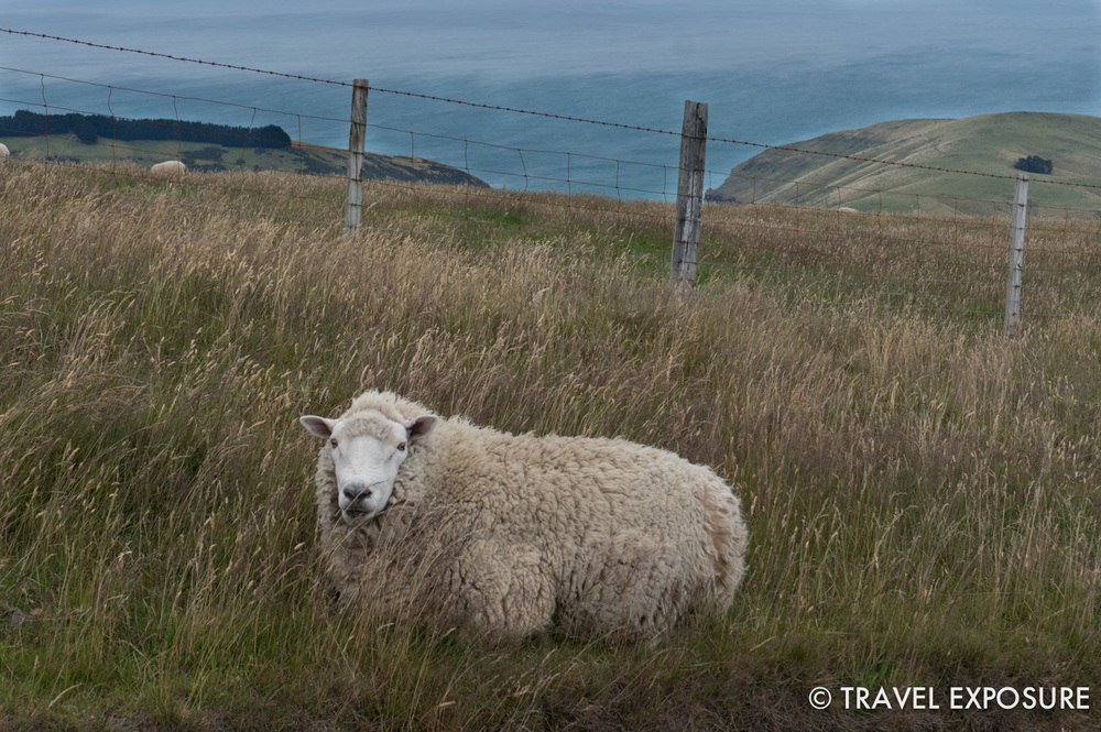 One of 31 million sheep in New Zealand near Haylocks Bay