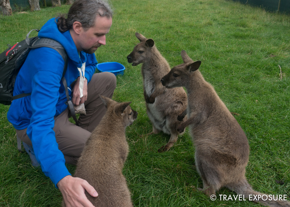 Wallabies in Waimate