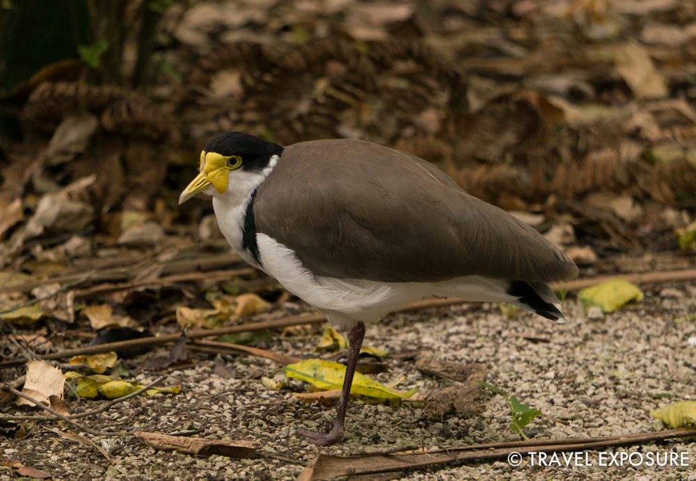 Spur-winged Plover at the Otorohanga Kiwi House