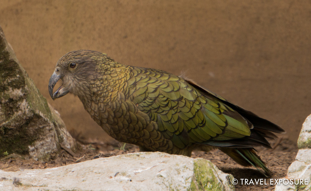 Kea at the Otorohanga Kiwi House
