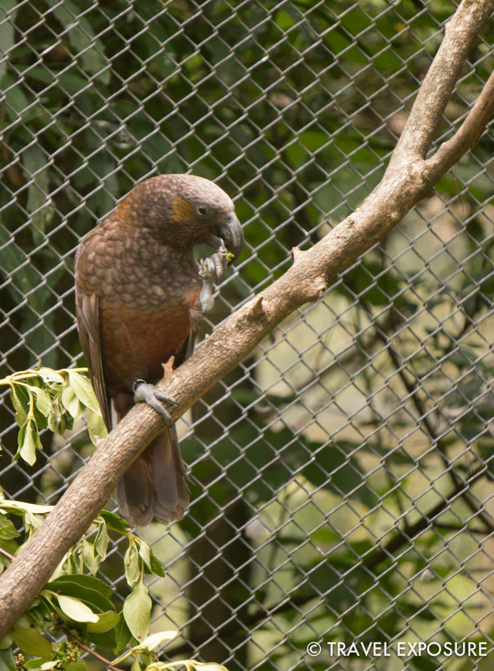 Kaka at the Otorohanga Kiwi House