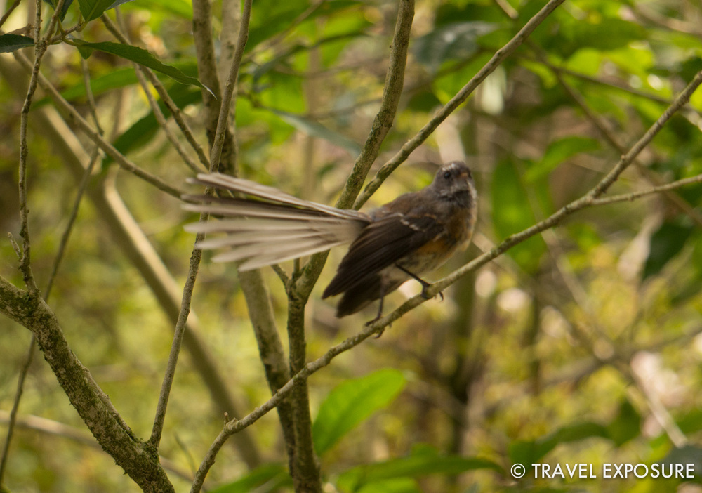 Fantail at the Otorohanga Kiwi House