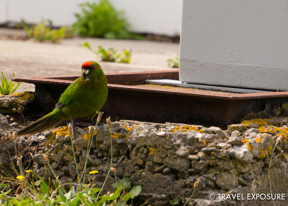 Red-crowned parakeet on Tiritiri Matangi Island