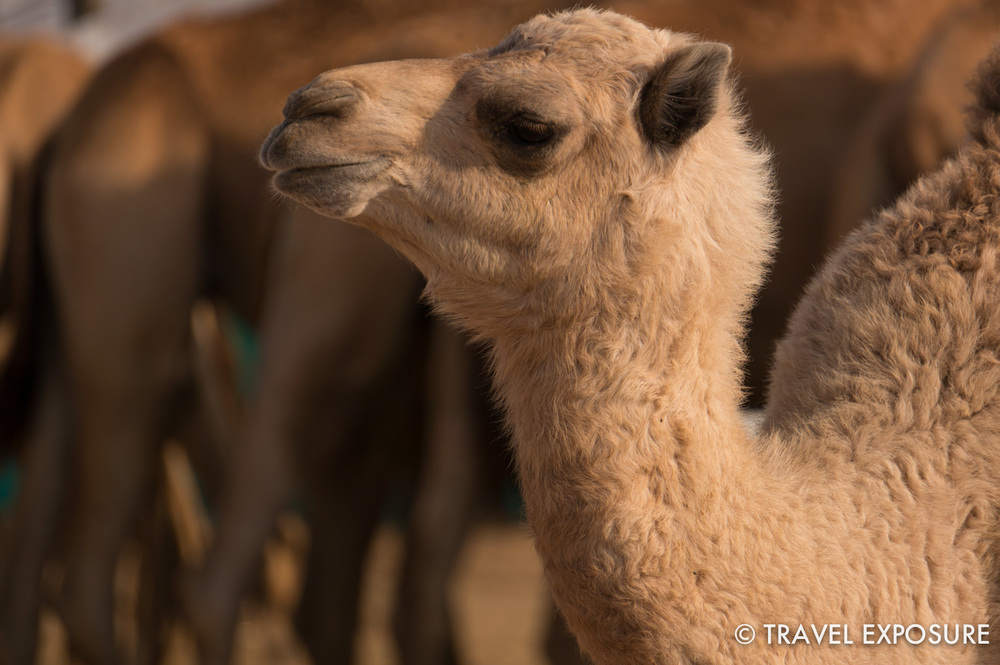 WEEK OF MARCH 24 A baby camel looks up from the herd in the desert near Abu Dhabi, U.A.E.