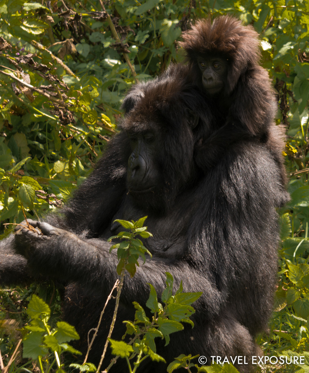 WEEK OF JUNE 30 A mother and baby gorilla feed in Mount Bisoke - part of the Virunga Mountain Range in Rwanda.