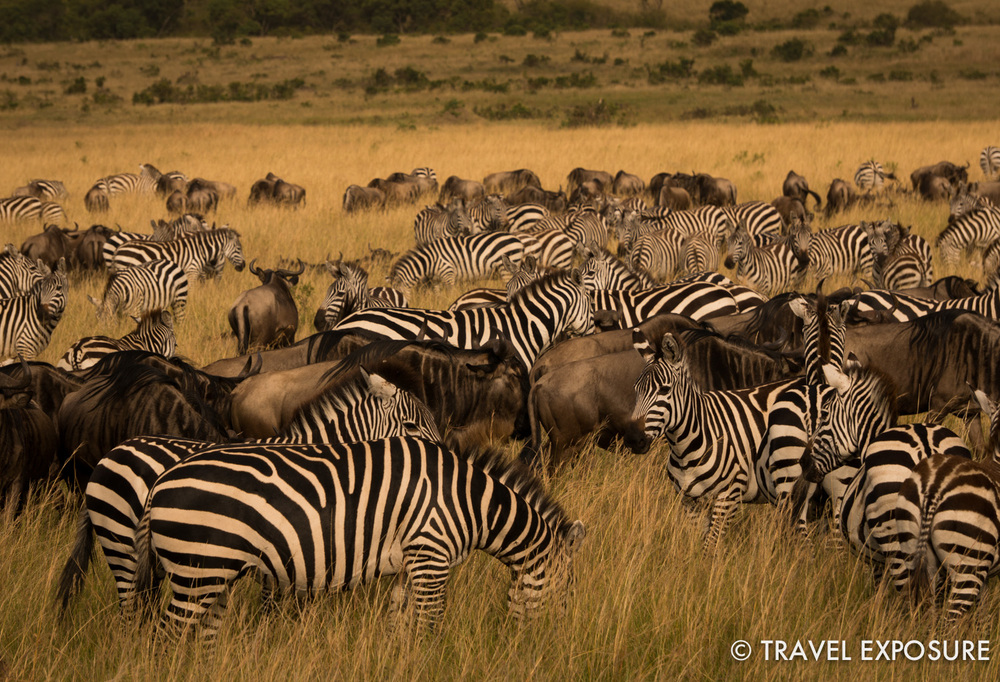 WEEK OF JULY 7 Zebra and wildebeest mix as they take part in the 500-mile annual migration to the Masai Mara game reserve in Kenya.