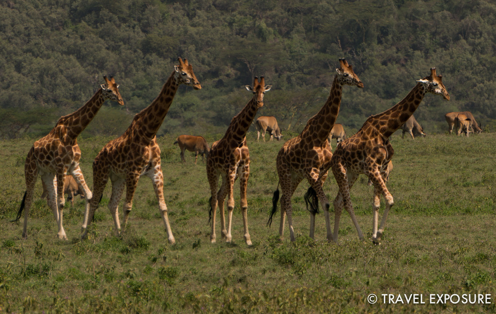 A parade of giraffes welcomed us on our first game drive in Kenya!