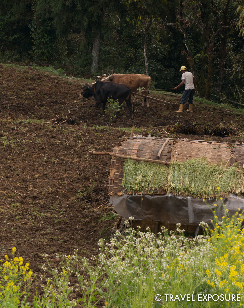 At our homestay in Kewzing - farming the old-fashioned way