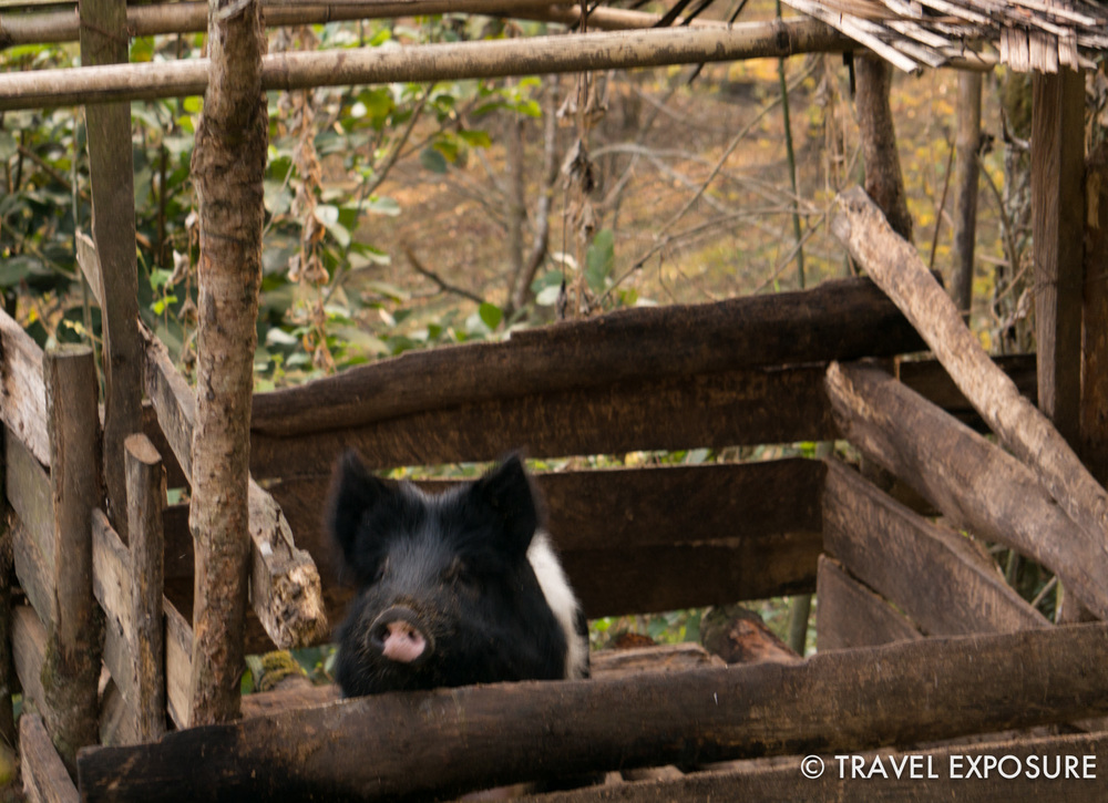 At our homestay in Kewzing - a pig!