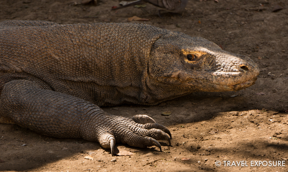 WEEK OF AUGUST 18 A Komodo dragon, the world's largest lizard, wakes up from a nap in Rinca, Indonesia.